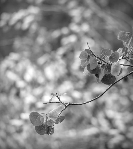 Photograph - Black And White Aspen Leaves by Dan Sproul