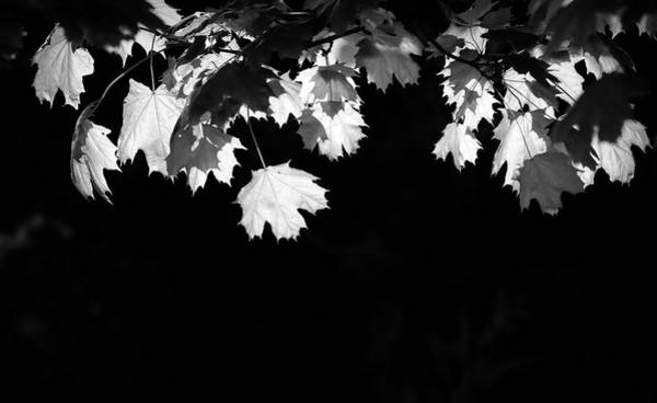 Photograph - Black And White Backlit Leaves by Dan Sproul