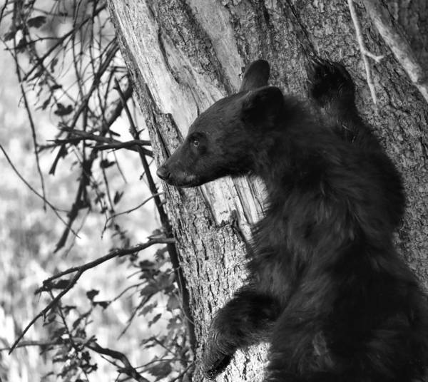 Photograph - Black And White Black Bear Cub by Dan Sproul