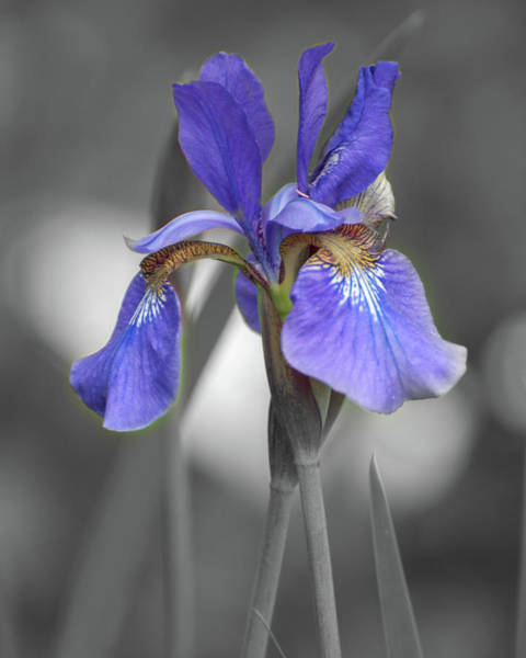 Photograph - Black And White Blue Bearded Iris by Brenda Jacobs