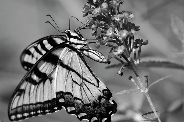 Photograph - Black And White Butterfly by Jill Lang