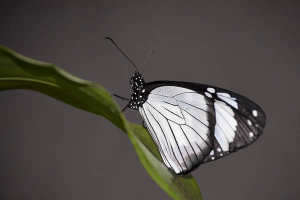 Photograph - Black And White Butterfly by Penny Lisowski