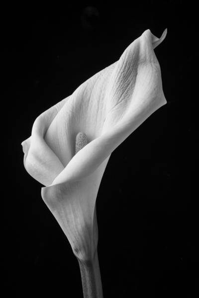 Calla Lilies Photograph - Black And White Calla Lily by Garry Gay