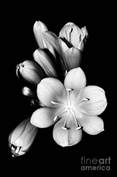 Clivia Wall Art - Photograph - Black And White Clivia by Emilio Lovisa