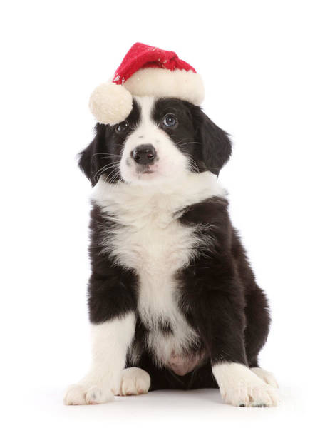 Photograph - Black And White Collie Santa Pup by Warren Photographic