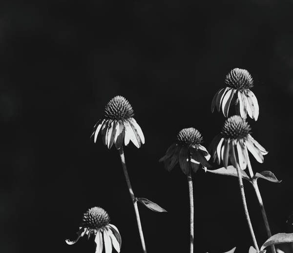 Photograph - Black And White Coneflowers by Dan Sproul