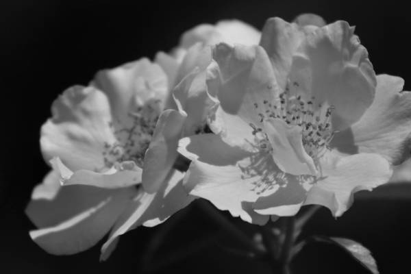 Photograph - Black And White Country Rose Chicago Botanical Gardens by Colleen Cornelius