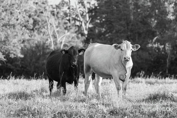 Photograph - Black And White Cows by Vincent Bonafede