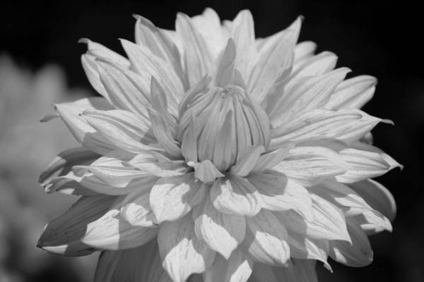 Photograph - Black And White Dahlia Chicago Botanical Gardens by Colleen Cornelius