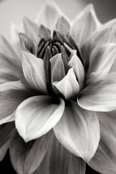 Dahlias Photograph - Black And White Dahlia by Danielle Miller