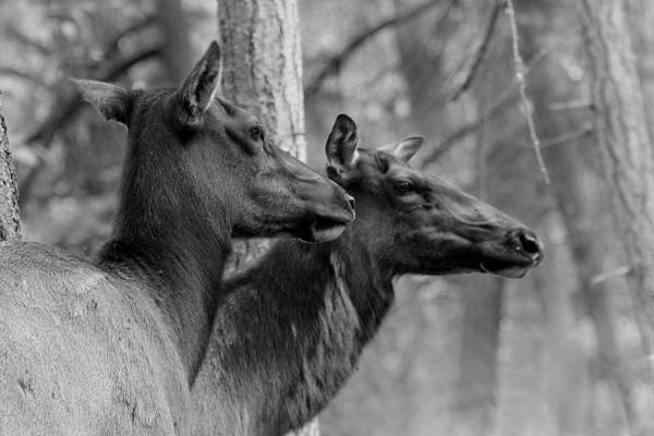 Wall Art - Photograph - Black And White Elk by Steve McKinzie