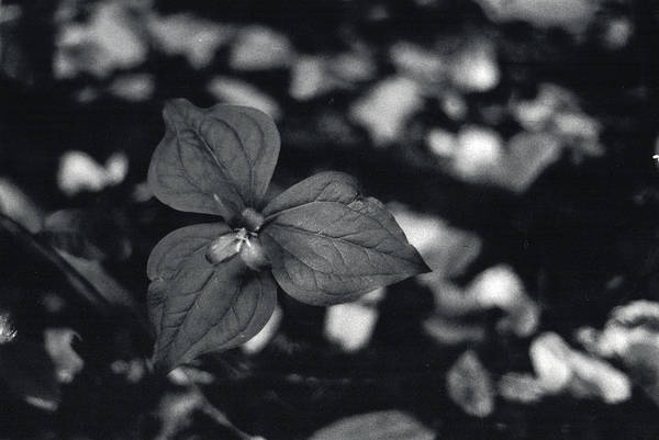 Photograph - Black And White Flower by Erik Paul