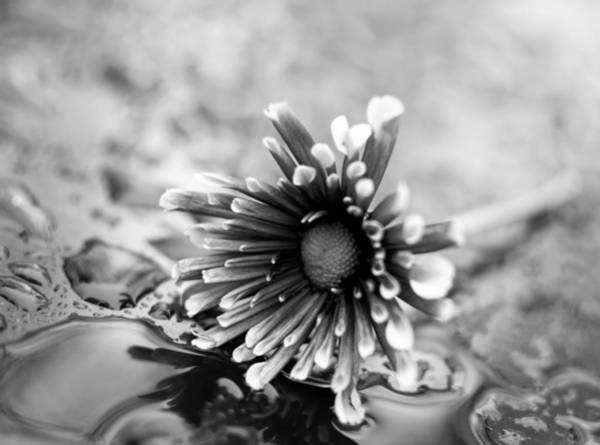 Photograph - Black And White Flower In Rain by Keith Smith