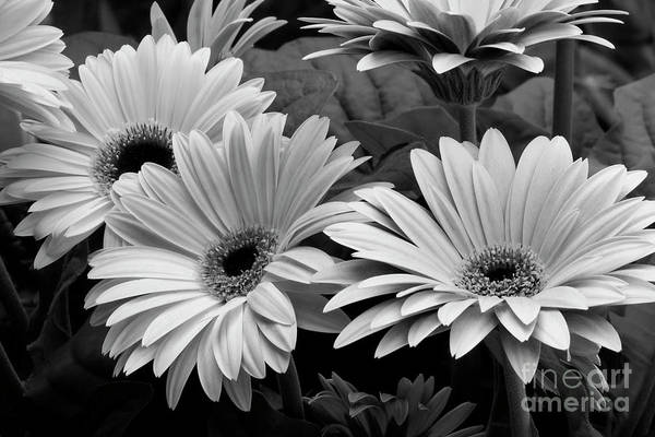 Photograph - Black And White Gerber Daisies by Jill Lang