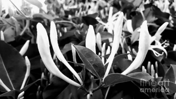 Photograph - Black And White Honeysuckle Buds by Rachel Hannah