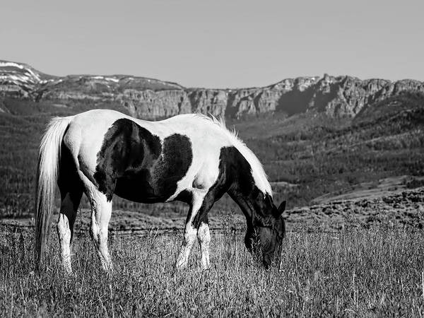 Black And White Horse Grazing In Wyoming In Black And White  Art Print
