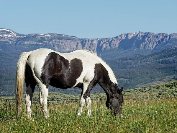 Photograph - Black And White Horse Grazing In Wyoming by Kay Brewer