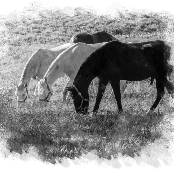 Photograph - Black And White Horse Trio Grazing by Eleanor Abramson