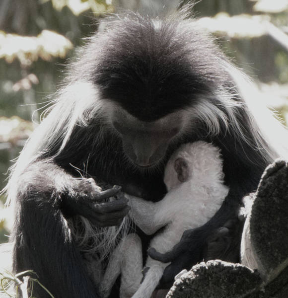 Photograph - Black And White Image Of Colobus Monkeys by Vincent Billotto