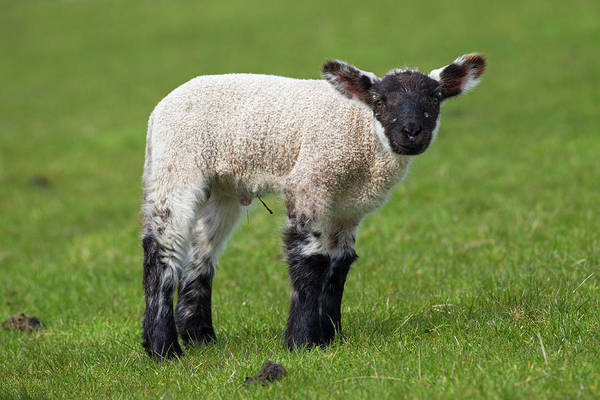 Photograph - Black And White Lamb by Arterra Picture Library