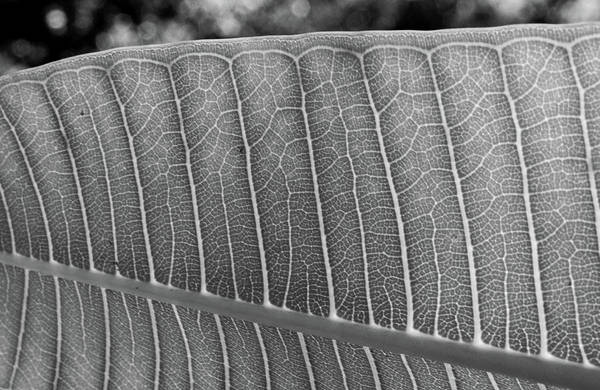 Photograph - Black And White Leaf by Larah McElroy