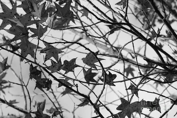 Photograph - Black And White Leaves by Carol Groenen