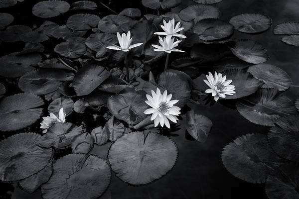 Photograph - Black And White Lily Pond Sunset 4733 Bw_2 by Steven Ward