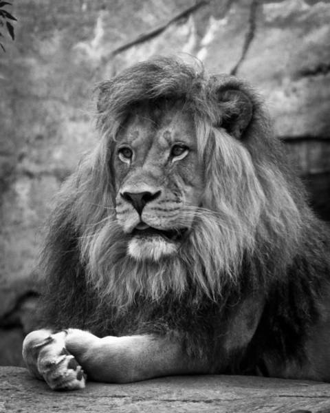 Wall Art - Photograph - Black And White Lion Pose by Steve McKinzie