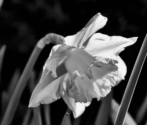 Black Narcissus Photograph - black and white monochrome Daffodil spring 2014. by Leif Sohlman