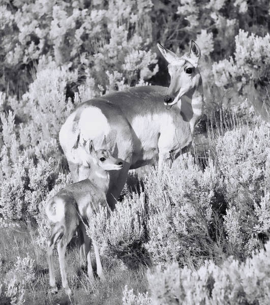 Photograph - Black And White Mother Pronghorn by Dan Sproul