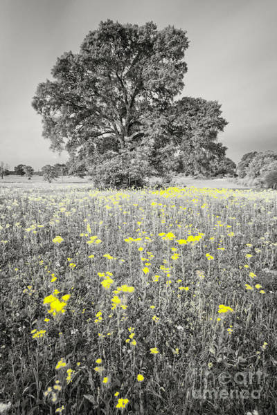 Photograph - Black And White Photograph Of Majestic Post Oak And Texas Groundsel - Brenham Washington County by Silvio Ligutti