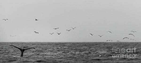 Photograph - Black And White Picture Of Whale Tale On Top Of Water by PorqueNo Studios