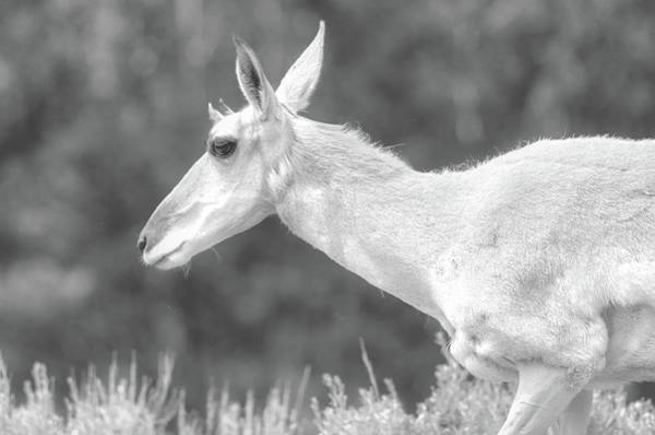 Photograph - Black And White Pronghorn Portrait by Dan Sproul
