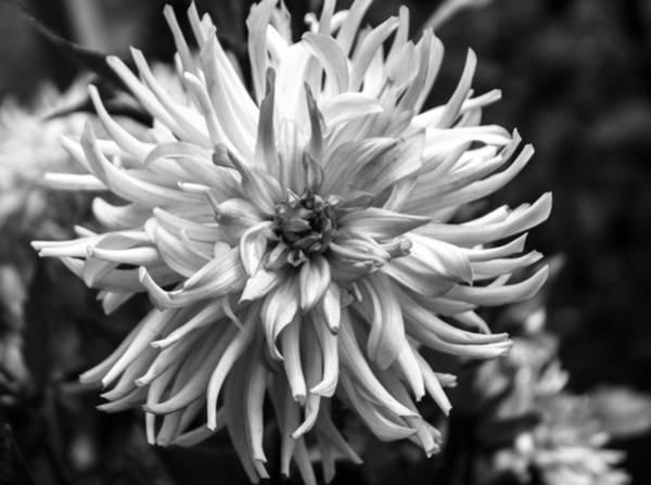 Photograph - Black And White Ragged Dahlia by Arlene Carmel