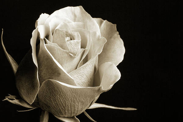 Photograph - Black And White Rose 5534.01 by M K Miller