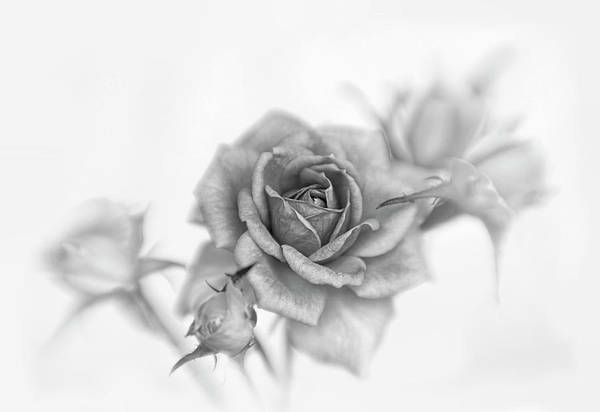 Wall Art - Photograph - Black And White Rose And Buds by David and Carol Kelly
