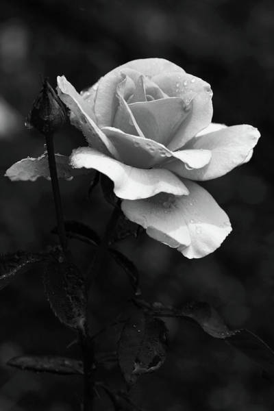 Photograph - Black And White Rose In The Rain 3590 Bw_2 by Steven Ward
