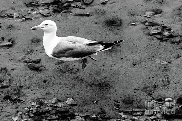 Photograph - Black And White, Seagull Floats On Crystal Clear Water, Rab, Croatia by Global Light Photography - Nicole Leffer