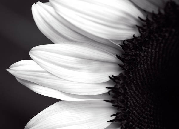 Photograph - Black And White Sunflower by Garvin Hunter