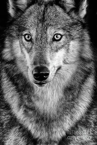 Timber Wolves Photograph - Black And White Timber by Todd Bielby