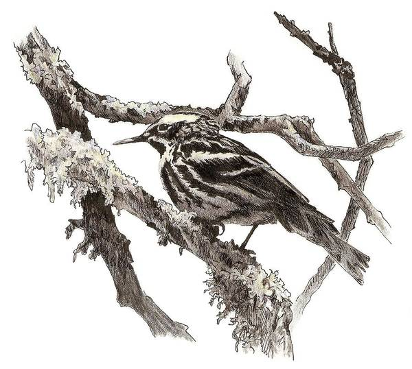 Drawing - Black-and-white Warbler by Abby McBride