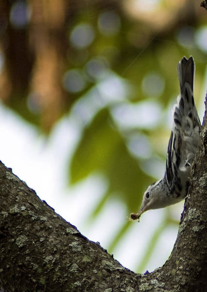 Photograph - Black And White Warbler by Wade Clark