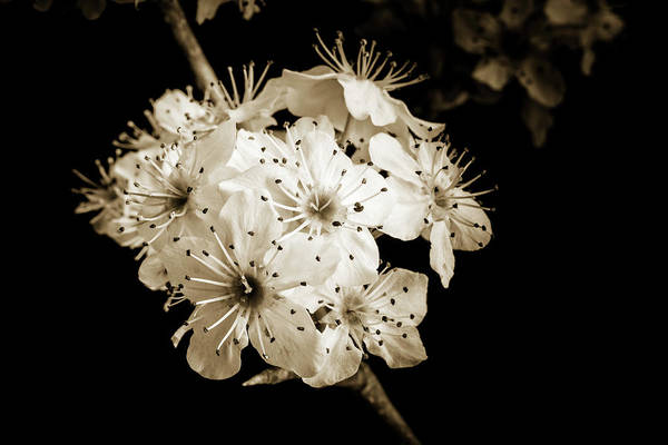 Photograph - Black And White Wild Plum Blooms 5536.01 by M K Miller