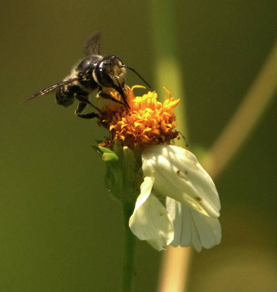 Photograph - Black And Yellow Bee Pollinating by Vincent Billotto