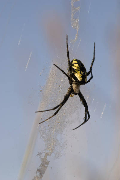 Photograph - Black And Yellow Garden Spider by Robert Potts
