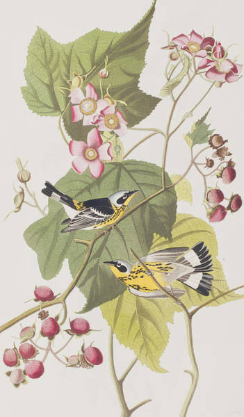 Birds And Flowers Painting - Black And Yellow Warblers by John James Audubon