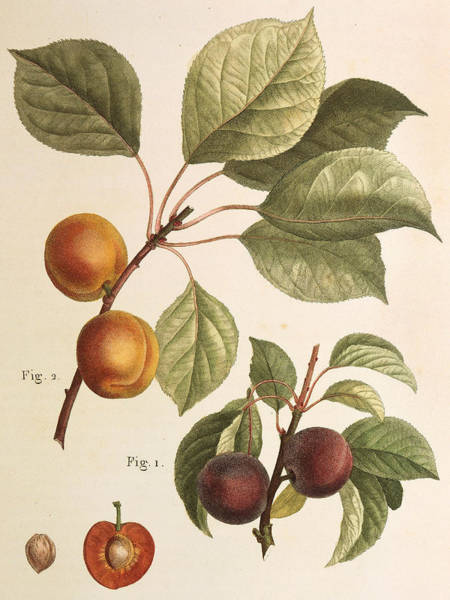 Rosaceae Wall Art - Painting - Black Apricot And Apricot Plants by Pierre Joseph Redoute