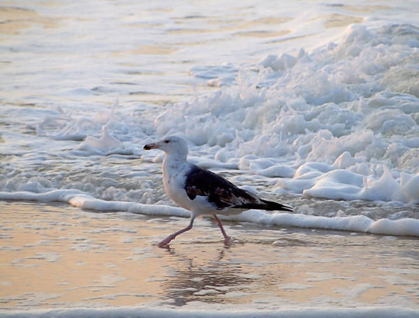 Photograph - Black-backed Gull by  Newwwman
