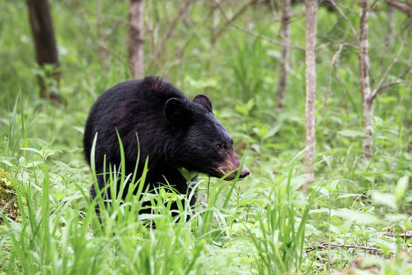Photograph - Black Bear by Andrea Silies