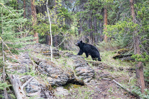 Photograph - Black Bear At Johnston Canyon by M C Hood